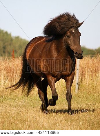 Dark Icelandic Horse Is Running On The Paddock