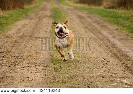 Funny Old Brown And White English Bulldog Is Running On A Small Way In The Park