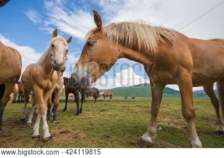 Wild Haflinger Horses In The Pian Grande Of Castelluccio Di Norcia, Umbria, Italy
