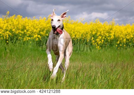 Beautiful Galgo Is Running On A Field With Rape Seed In The Background