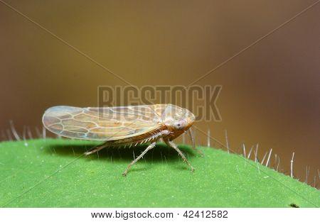 Leaf Hopper (Homoptera)