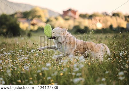 Sports With Dog In Fresh Air. Half Breed White Swiss Shepherd Dog. Large White Fluffy Dog Runs Throu