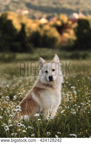 Half Breed White Swiss Shepherd Sits In Green Chamomile Field And Looks Intently Ahead. Dog Walks In