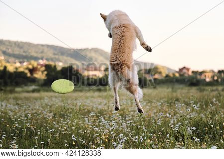 Walking And Sports With Dog In Fresh Air And Active Games With Flying Saucer. Dog Competitions. Half