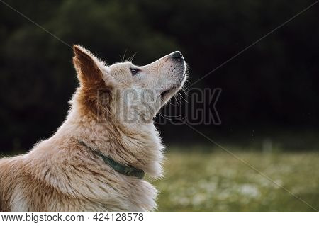 Charming Non Purebred Dog Looks Forward Attentively With Its Large Brown Eyes. Mestizo White Swiss S