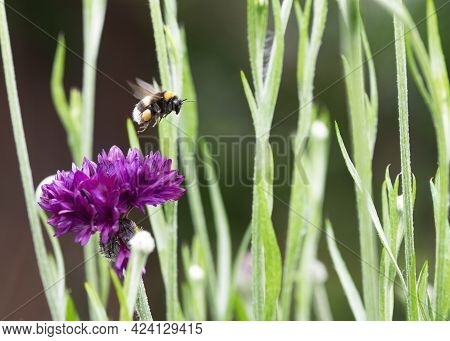 Concept Of Bees In Danger Of Extinction Due To Changes In Their Environment, Showing A Bumblebee In