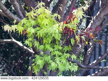 Pair Of  Young Acer Maple Tree , In A Garden Setting On A Bright Sunny Day , Nature Concept For Any