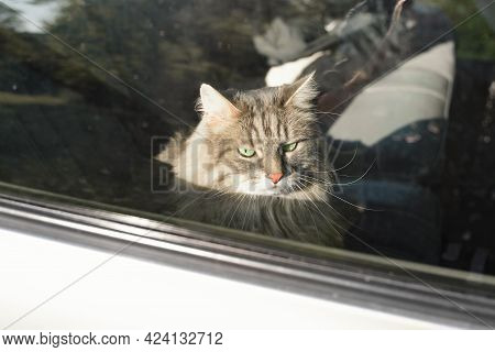 Portrait Of A Sad Cat Sitting In The Car. Angry, Green-eyed, Gray Cat Trapped Inside The Car. Road T