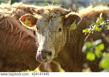 Beautiful Closeup View Of Brown Cow Head And Tongue With Yellow Ear Tags For Identification Peaceful
