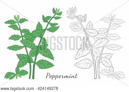 Two Isolated On White Hand Drawn Mint Herb Colored With Shades Of Green And Blue. Contoured Herb Mad