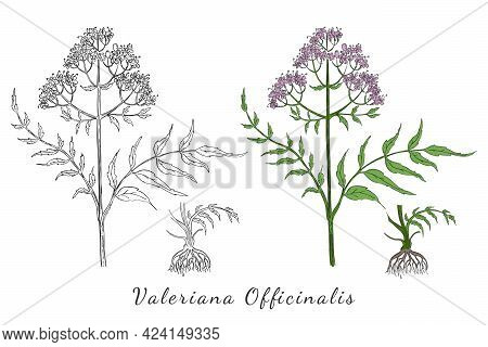Two Hand Drawn Branch Of Valerian With Root Made With Color And Without. Herbal With Latin Name Vale