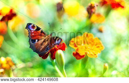 European peacock butterfly deploying wings