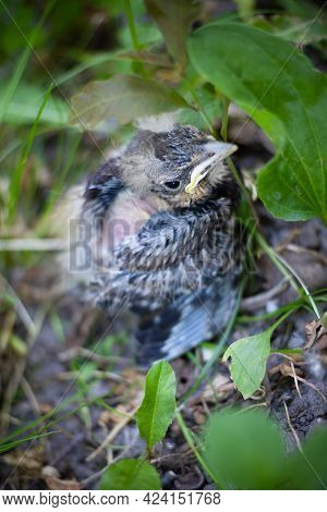 Little Gray Nestling In Green Grass, Fell From The Nest, Lonely Fledgling