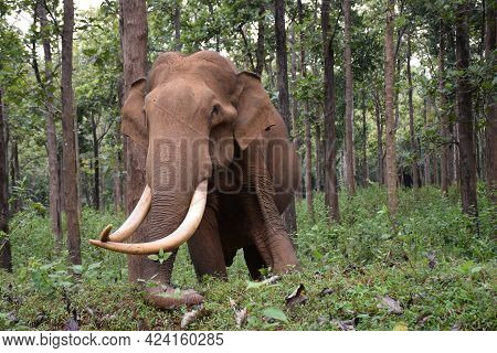 Asian Elephant In The Jungle. African Elephant In National Park. A Young Elephants Walking.