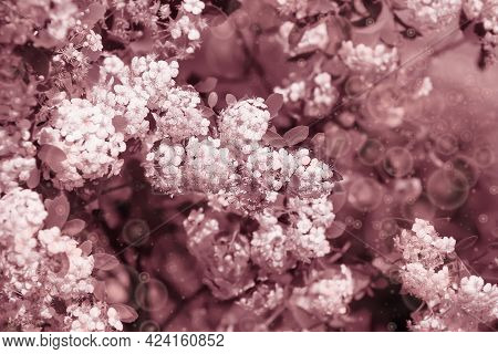 Many Small White Flowers On Bushes In The Summer Garden. Thunberg Spirea In Sunny Spring Day. Blurre