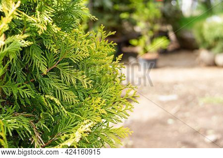 Close-up Of Juniper Branches With Copy Space. Selective Focuse  On Juniper Branches. Nature Concept