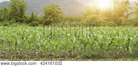 Maize Seedling Field At Sunrise Background. Agriculture Countryside Landscape.