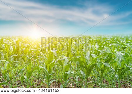 Maize Seedling Field At Sunrise Background. Agriculture Countryside Landscape. Focus On Foreground