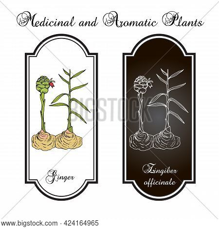 Ginger Root, Zingiber Officinale, Edible And Medicinal Plant. Hand Drawn Vector Illustration