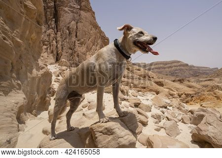 A Domestic Dog Looking At The View In The Timna Valley Park, The Negev Desert, Southern Israel.