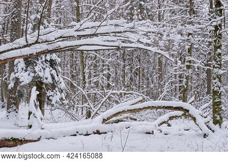 Wintertime Landscape Of Snowy Deciduous Tree Stand With Lying Broken Hornbeam Tree, Bialowieza Fores