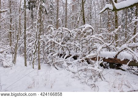 Wintertime Landscape Of Snowy Deciduous Tree Stand With Lying Spruce Tree, Bialowieza Forest, Poland