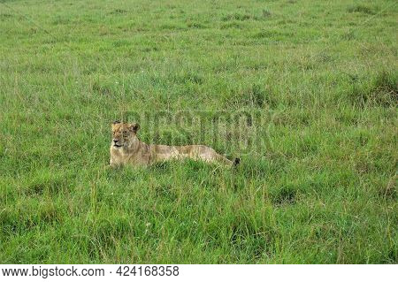 Wild Lioness Resting In The African Savannah. The Animal Lies In The Green Grass, Looks Ahead. Kenya