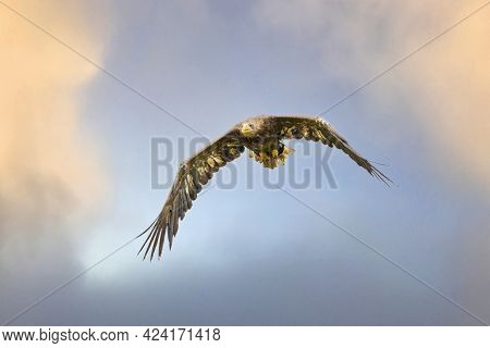 European Bald Eagle Flies In Front Of Blue Yellow Sky. Flying Bird Of Prey During A Hunt. Outstretch