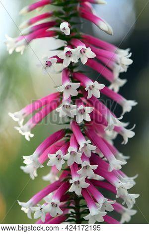 Close Up Of The Pink And White Bell-shaped Flowers Of The Australian Fuchsia Heath, Epacris Longiflo