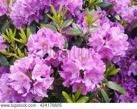 Beautiful Blooming Rhododendron. Flowers Background. Large Purple Flowers In The Garden Close Up