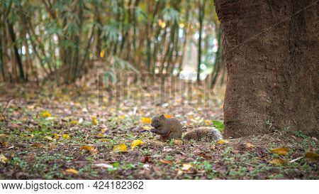 Pallas's Squirrel Eating Food On The Floor Of Daan Park Forest, Taipei