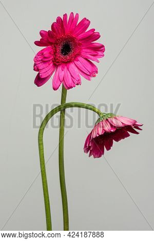 Two pink Gerbera daisy flowers on a gray background
