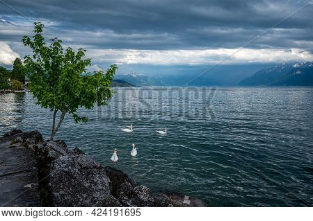 White Swans Swimming In Lake Geneva In Switzerland. Tranquil Scene Of Water, Trees, Rock And Clouds.