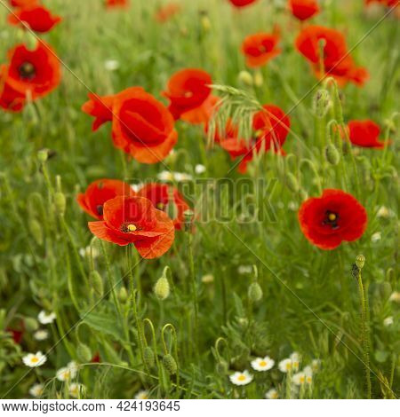 Many Poppies Bloom On The Field. Red Poppies Grow And Bloom Among The Green Grass. Nature Outside Th