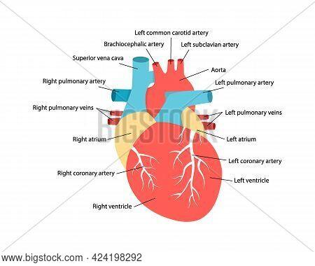 Heart Anatomy With Descriptions. Educational Diagram With Human Internal Organ Illustration.