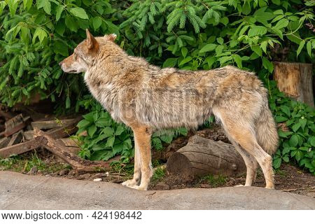 The Gray Wolf Runs In The Zoo, Close-up