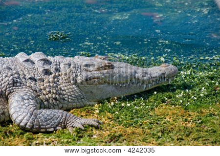 Crocodile laying on boat ramp in Cancun Mexico. On the lagoon side poster