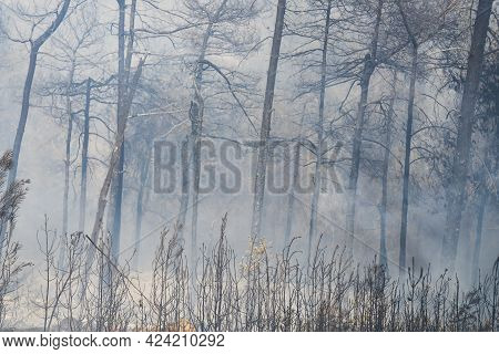 Burnt Pine Trees In A Wildfire Smoke In The Judea Mountains, Near Jerusalem, Israel.
