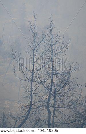Two Burnt Pine Trees In A Wildfire Smoke In The Judea Mountains, Near Jerusalem, Israel.