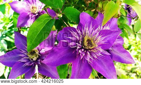 Clematis Flower. Clematis Lilac During Flowering. Flower Buds Close-up. Beautiful Perennials.