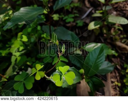 Oxalis Corniculata, The Creeping Woodsorrel, Resembles The Common Yellow Woodsorrel, Oxalis Stricta.