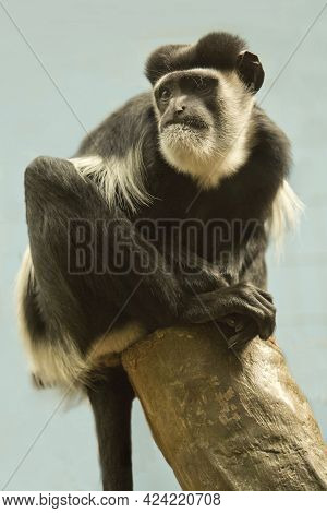Mantled Guereza, Eastern Black-and-white Colobus, Abyssinian Black-and-white Colobus (colobus Guerez