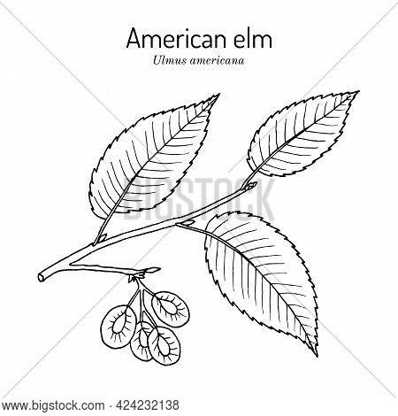 American, Or Water Elm Ulmus Americana The Official State Tree Of North Dakota. Botanical Hand Drawn
