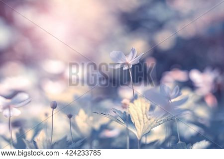 White Flowers Anemones In Sunlight On Blue Toned Background. Beautiful Delicate Floral Art Backgroun