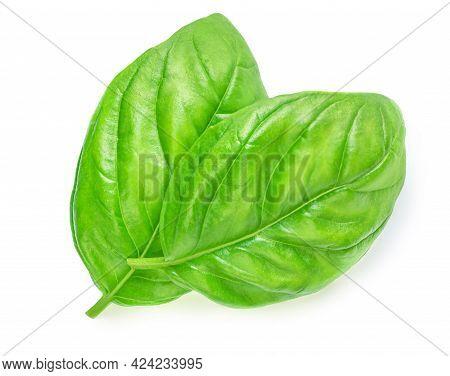 Fresh Organic Basil Leaves Isolated On White Background. Sweet Genovese Basil Close Up