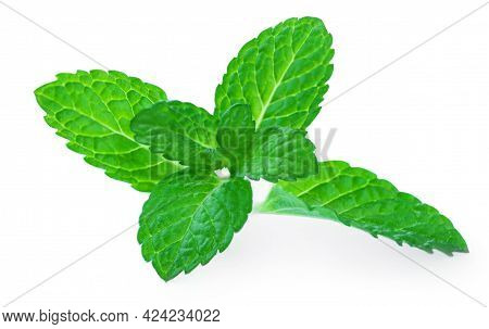 Fresh Spearmint Leaves Isolated On The White Background. Melissa Or Peppermint Close Up. Pepper Mint