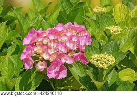 Pink Flower Of Hydrangea ( Hydrangea Macrophylla ) Among Green Leaves In Garden