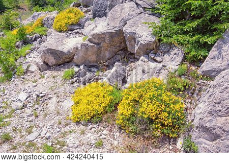 Spring In Mountains. Wildflowers Among Stones. Yellow Flowers Of Alpine Birds-foot Trefoil ( Lotus A