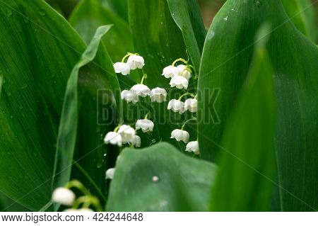 Lily Of The Valley Flowers Between Green Leaves With Water Drops