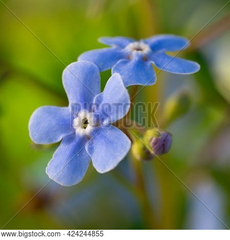 Macro Photo Of Forget-me-not Blue Flowers Blossoming In Spring Garden